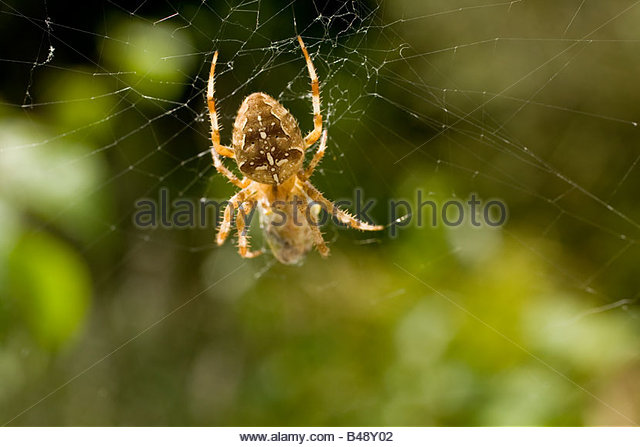 Spider in web with prey - photo#33