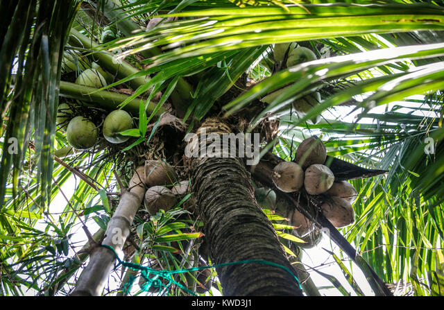 coconut sap sugar production Coconut sugar is the boiled and dehydrated sap of the coconut palm it comes with a higher price tag than granulated sugar but offers the same number of.