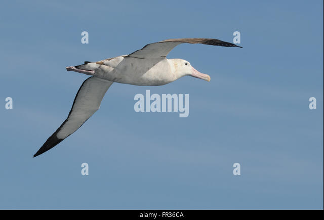 Albatross Wandering  Flying and Feeding  Young People