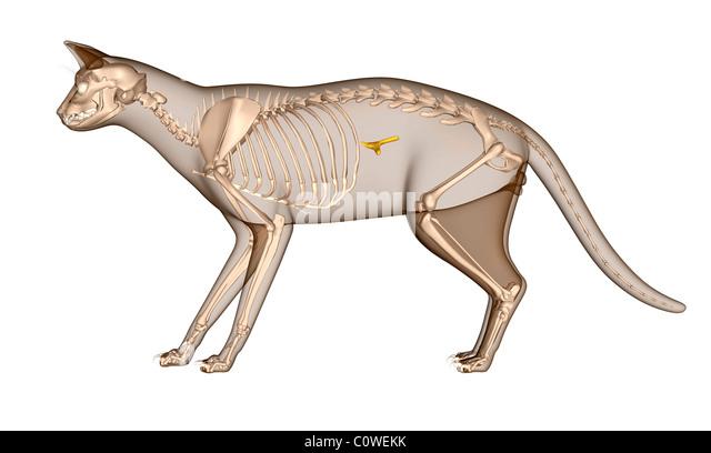 Cat Pancreas