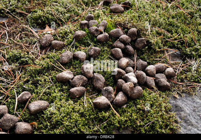 deer droppings stock photos deer droppings stock images alamy. Black Bedroom Furniture Sets. Home Design Ideas