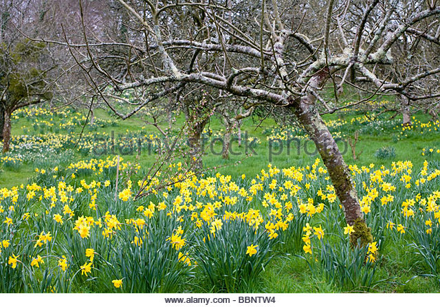Great Spring Daffodils In The Orchard Garden   Stock Image