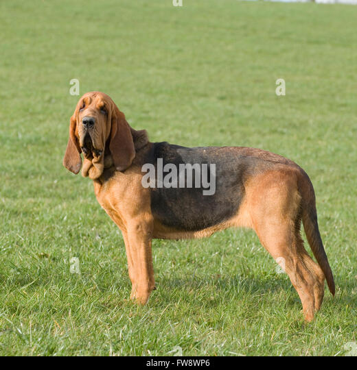 tracker dog stock photos  u0026 tracker dog stock images