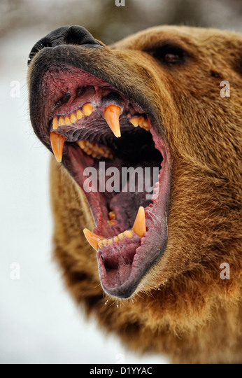 brown bears grizzly bears jacksons amazing world 0