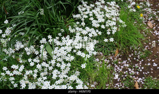 White star shaped flowers gallery flower decoration ideas white star flowers image collections flower decoration ideas white star flower gallery flower decoration ideas white mightylinksfo