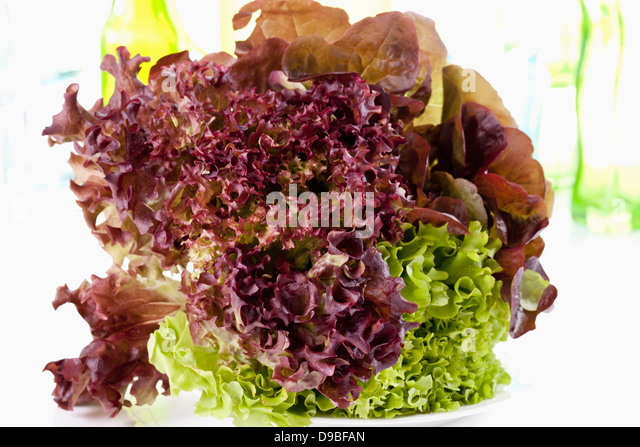 lollo rosso bianco lettuce stock photos lollo rosso bianco lettuce stock images alamy. Black Bedroom Furniture Sets. Home Design Ideas