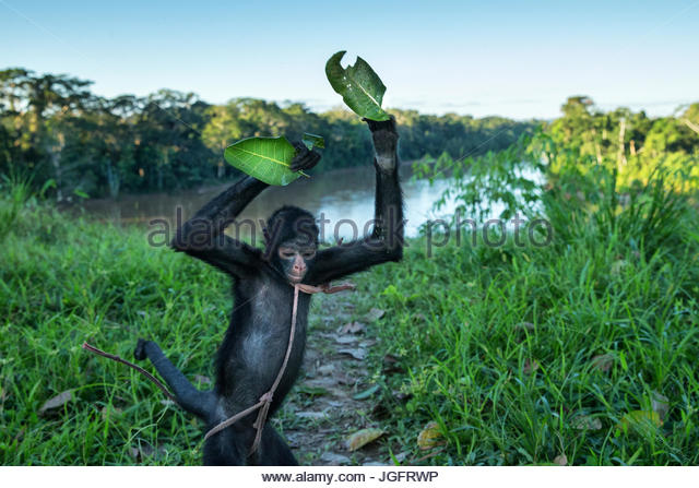 A pet spider monkey. - Stock Image