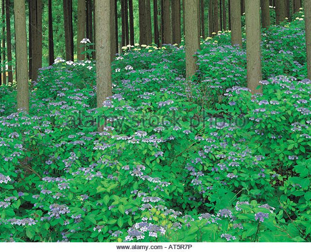 Ichinoseki Japan  City pictures : Michinoku hydrangea garden, Ichinoseki, Iwate, Japan Stock Image