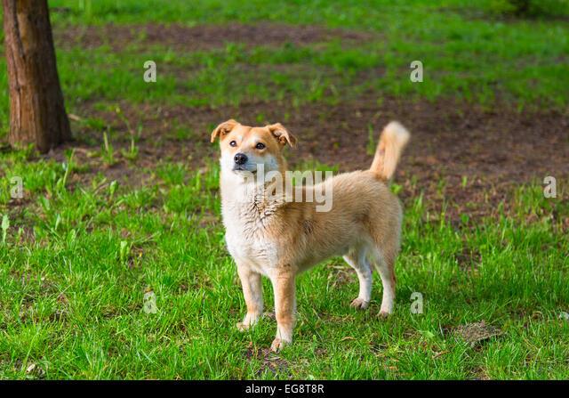 Ginger Dog Stock Photos Amp Ginger Dog Stock Images Alamy