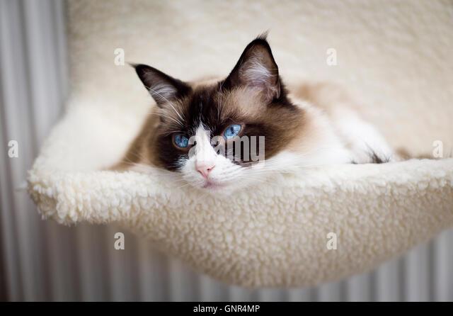 ragdoll cat relaxing in a radiator hammock   stock image cat radiator stock photos  u0026 cat radiator stock images   alamy  rh   alamy