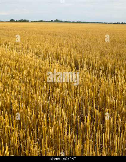 Red Winter Wheat Stock Photos & Red Winter Wheat Stock ...