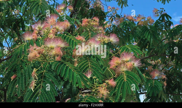 Bipinnate Stock Photos  u0026 Bipinnate Stock Images   Alamy