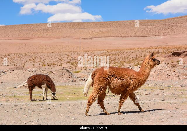 Patagonian Desert Animals