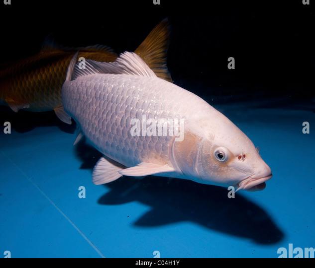 Yamabuki stock photos yamabuki stock images alamy for Ornamental carp fish