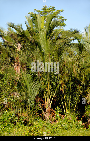 malaysian market for sago palm Palm sugar is made from the sap of palm trees trunks in malaysia the sago palm or the sugar palm however, good quality ones are normally available at traditional wet market and small sundry shops.