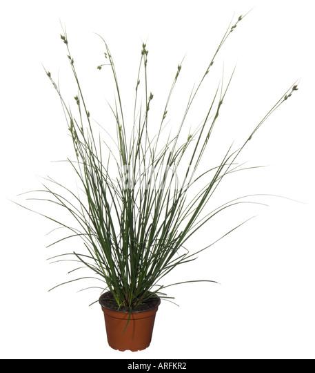 Green ornamental grasses perennials stock photos green for Brown ornamental grass plants