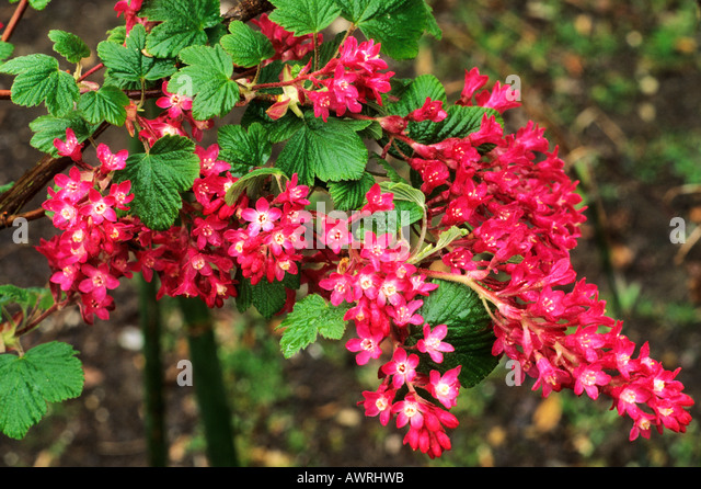ribes sanguineum 39 king edward vii 39 flowering currant bush red stock photo picture and royalty. Black Bedroom Furniture Sets. Home Design Ideas