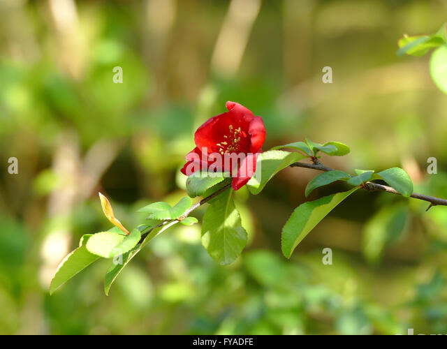 japanese quince chaenomeles japonica flower in blurred background stock image - Quince Flower