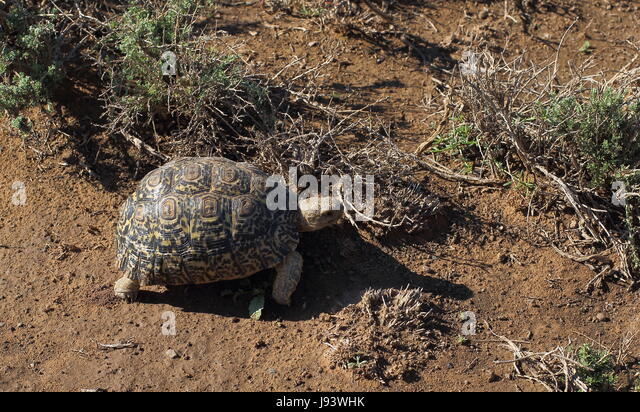 A leopard tortoise - when the road is long take one step at a time - Stock Image
