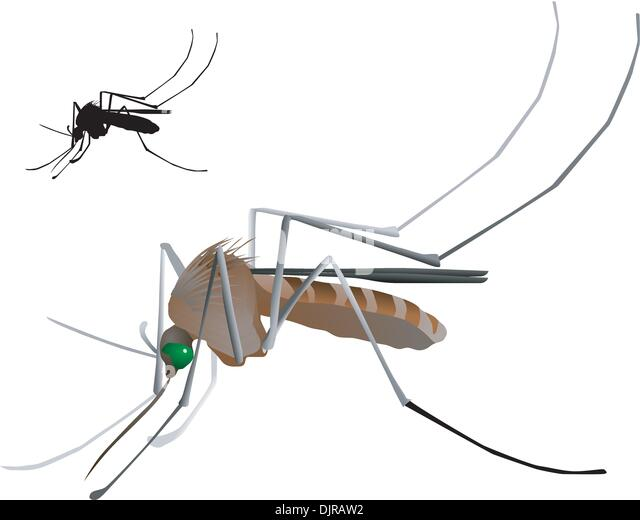 anopheles quadrimaculators vectors Disease spread by vectors  quadrimaculators vectors:  they could be animals or insects such as female anopheles mosquitos these vectors carry an organism.
