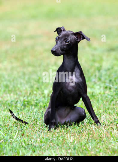 Italian Greyhound Stock Photos & Italian Greyhound Stock ...