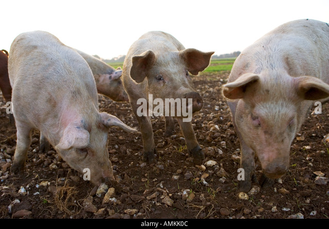 Duroc Pig Stock Photos & Duroc Pig Stock Images - Alamy