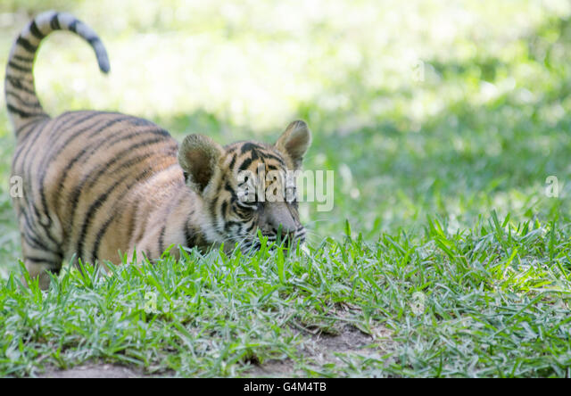 how to buy a tiger cub in australia