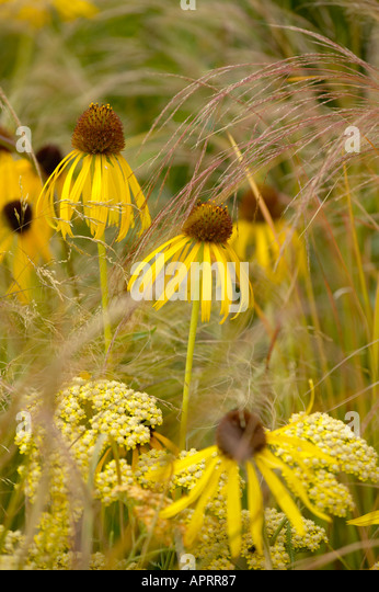 Flower show echinacea yellow mellow with achillea for Ornamental grass with yellow flowers