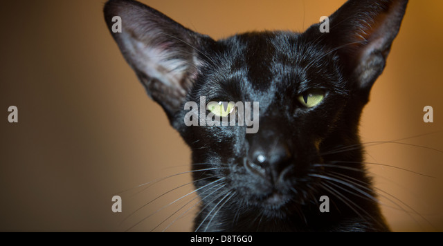 Black Shorthair Cat With Green Eyes