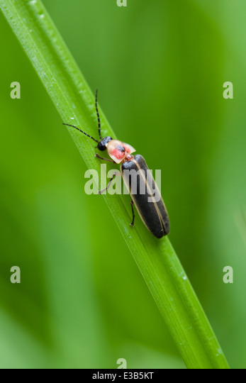 Lightning Bug Stock Photos Lightning Bug Stock Images Alamy
