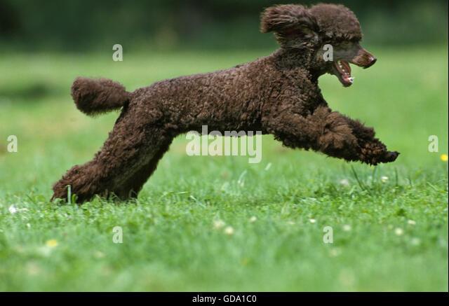 adult miniature poodle free