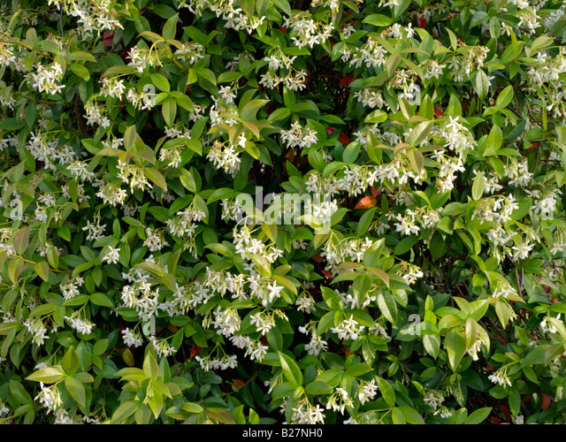 trachelospermum jasminoides stock photos trachelospermum jasminoides stock images alamy. Black Bedroom Furniture Sets. Home Design Ideas