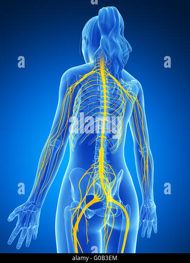 Central nervous system diagram stock photos central nervous 3d rendered illustration of the female nervous system stock image ccuart Choice Image