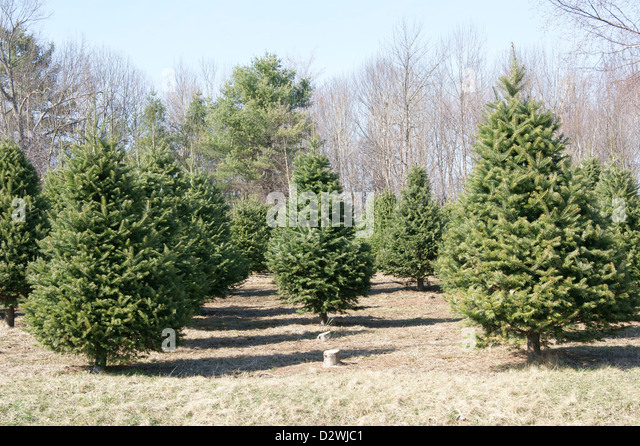 Christmas Trees Growing Stock Photos & Christmas Trees