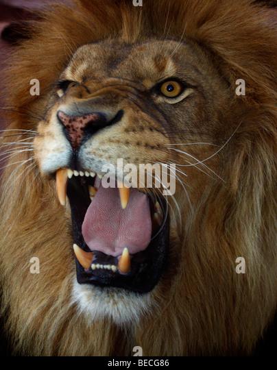 8k Animal Wallpaper Download: Roaring Lion Stock Photos & Roaring Lion Stock Images