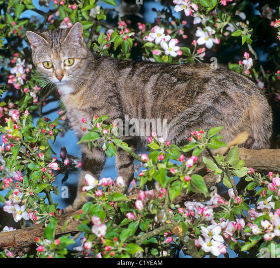 cat blooming apple tree stock photos cat blooming apple tree stock images alamy. Black Bedroom Furniture Sets. Home Design Ideas