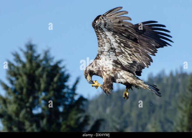 Talon air stock photos talon air stock images alamy for Fish eating eagle