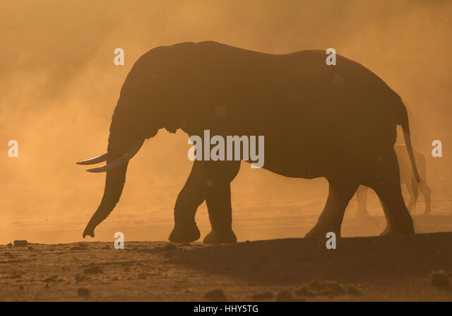 silhouette of a single african elephant at sunset south africa stock image