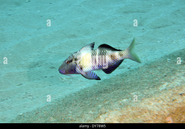 Parupeneus stock photos parupeneus stock images alamy for Bottom fishing oahu