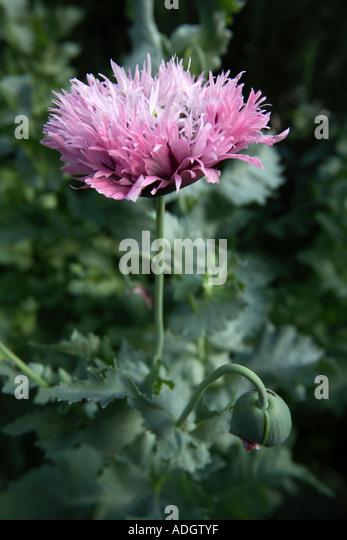 Opium poppies flowers drugs garden heroin stock photos opium purple large opium poppy flower papaver somniferum hampshire england stock image mightylinksfo Image collections
