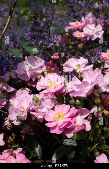 bodendecker rosen stock photos bodendecker rosen stock. Black Bedroom Furniture Sets. Home Design Ideas