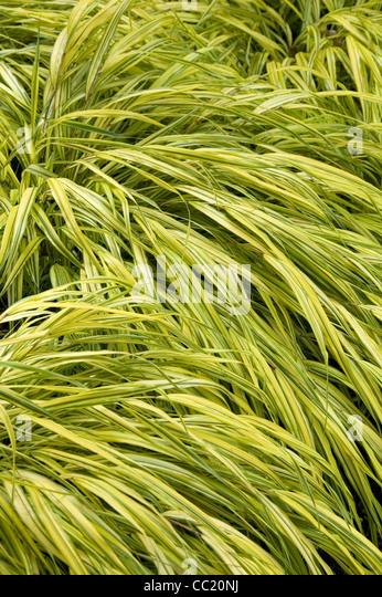 Hakonechloa aureola stock photos hakonechloa aureola for Japanese ornamental grass varieties