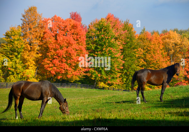 maple tree and horses maple trees and two stock photos maple trees and two stock images alamy