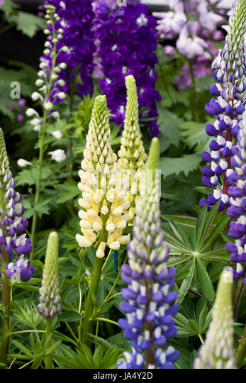 Lupin uk stock photos lupin uk stock images alamy lupinus chandelier lupins and delphiniums in spring aloadofball Image collections