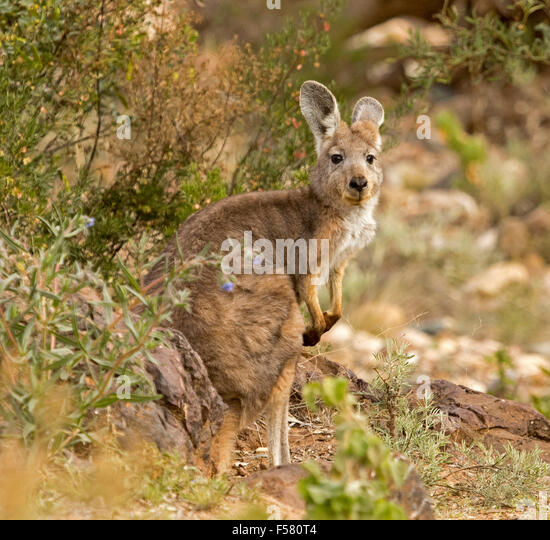wallaroo - photo #41