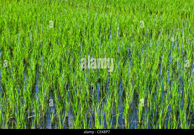Rice Farming Laos Stock Photos & Rice Farming Laos Stock ...