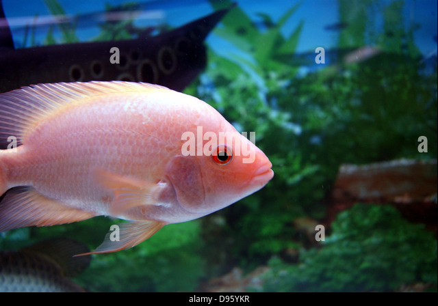 Ornamental fish stock photos ornamental fish stock for Japanese ornamental fish