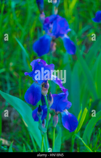 blue iris flower in the summer garden on a background of fresh green foliage stock