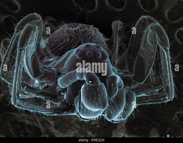 high vacuum sem image of very small spider frontal view larger stock