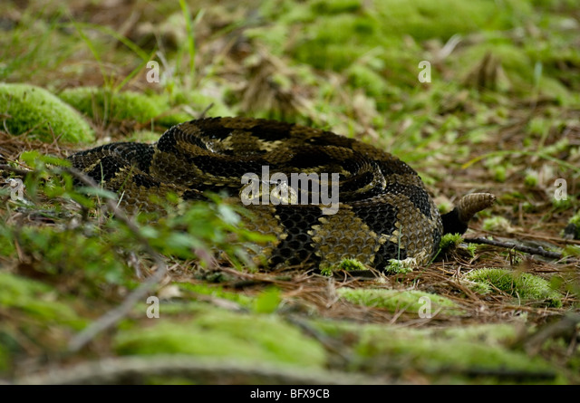 Striking Rattlesnake Stock Photos & Striking Rattlesnake ...